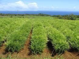 джинджифилова плантация