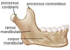 долна челюст