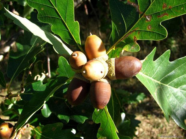 плод на дъб