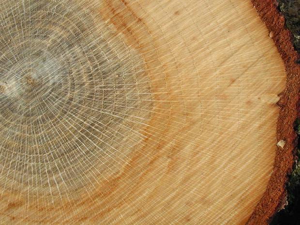 дървесина на дъб