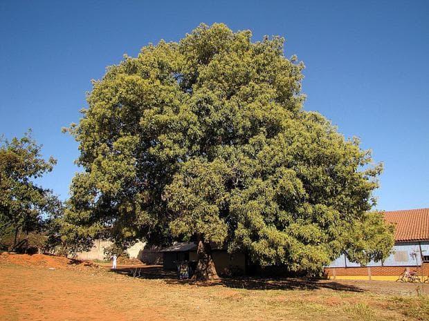 дърво авокадо