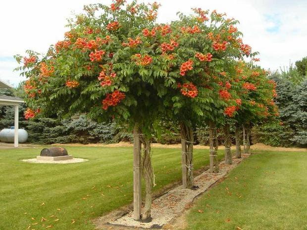 дърво текома