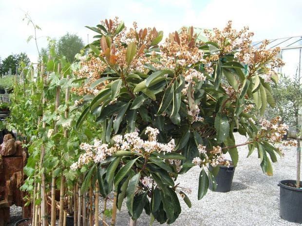 дърво японска мушмула