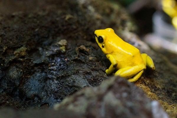 Отровна дървесна жаба