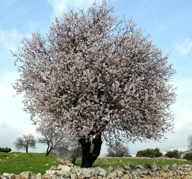 Бадемово дърво