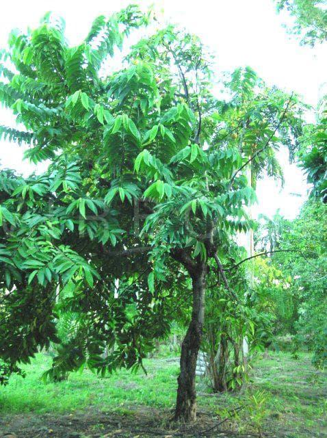 бириба дърво