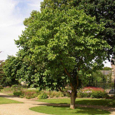 дърво черница
