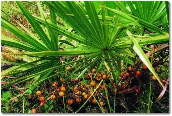 палма джудже