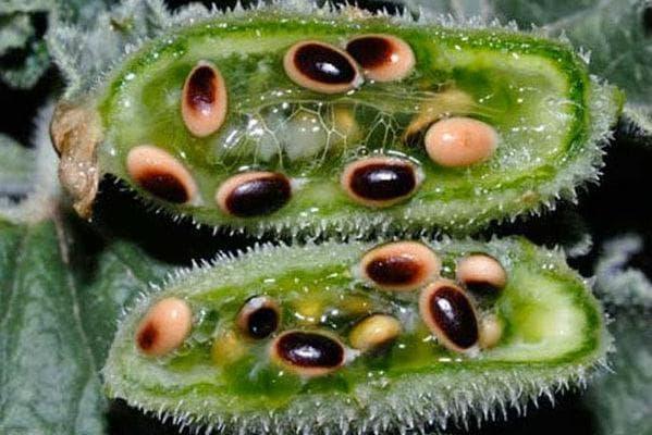 семена на луда краставица