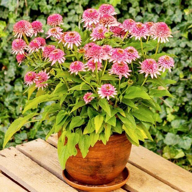 Ехинацея-растение