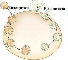 екзоцитоза и ендоцитоза