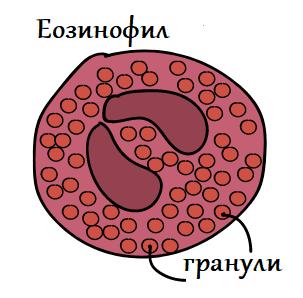 еозинофил