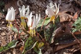 бяло самодивско цвете