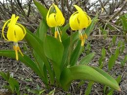 жълто самодивско цвете