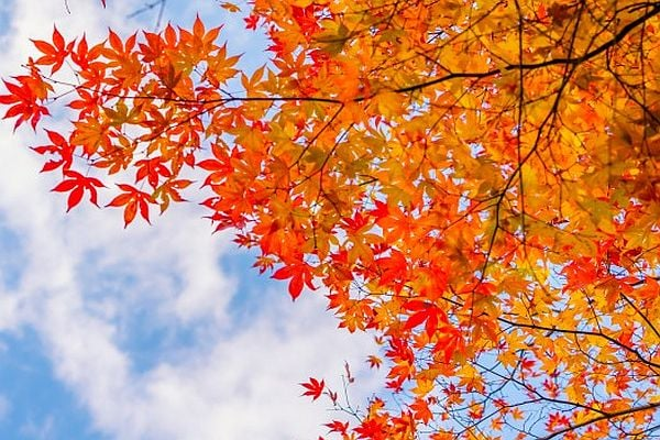 есен, есенни листа