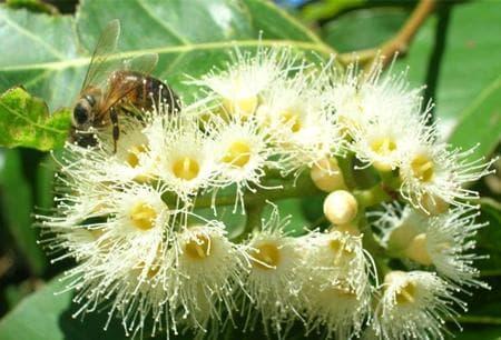 евкалиптов мед