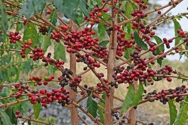 Растението кафе