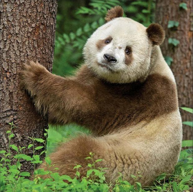 кафява панда