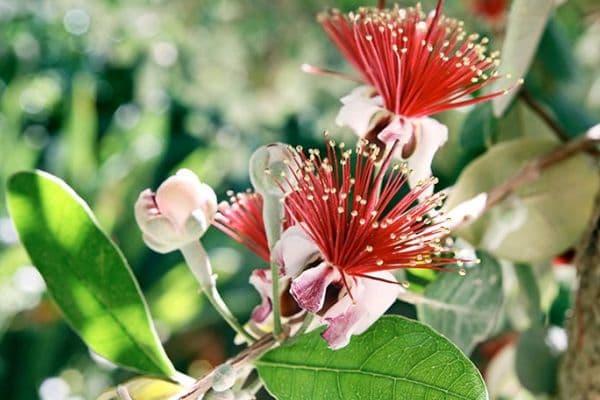 фейхоа - растение