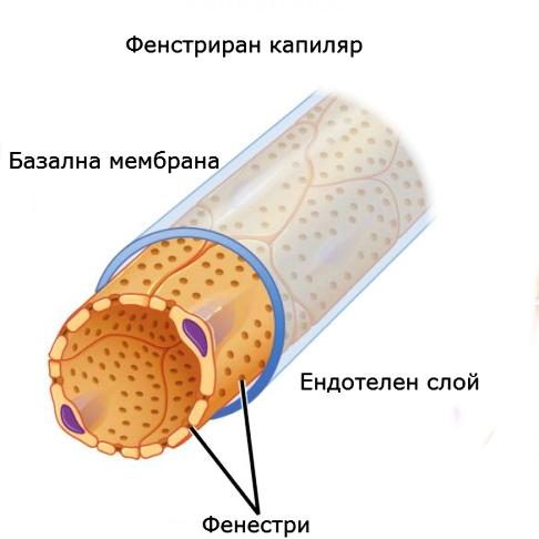 Фенестриран капиляр