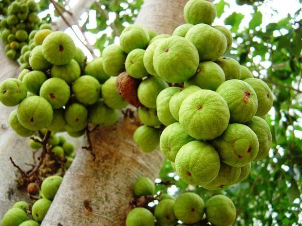 зелени плодове на гулар