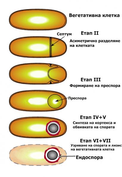 Формиране на ендоспора