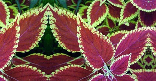 Растение Колеус