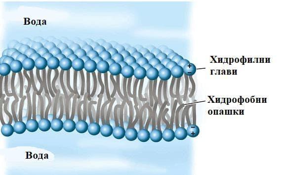 фосфолипиди
