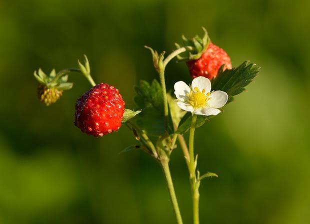 плодове и цвят на горска ягода