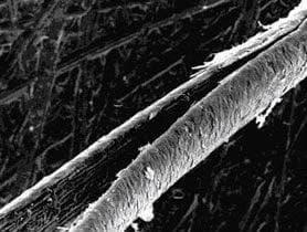 fragilitis crinium