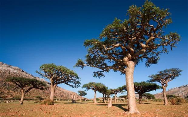 Дървета от вида Boswellia sacra
