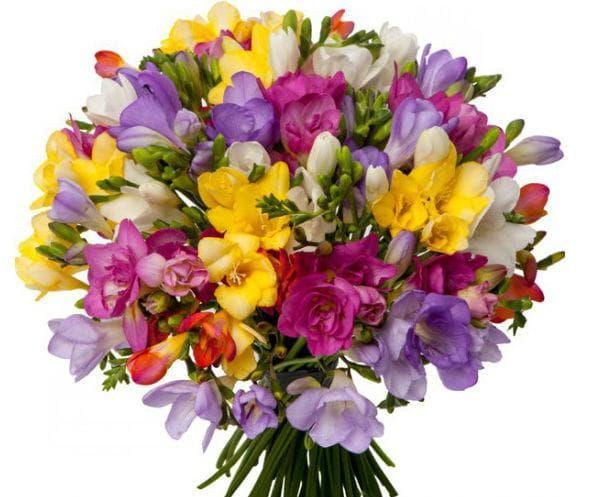 Подаряването на букет фрезии е символ на възхищение и благодарност