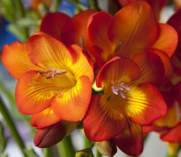 Червените и розовите фрезии излъчват най-интензивен аромат