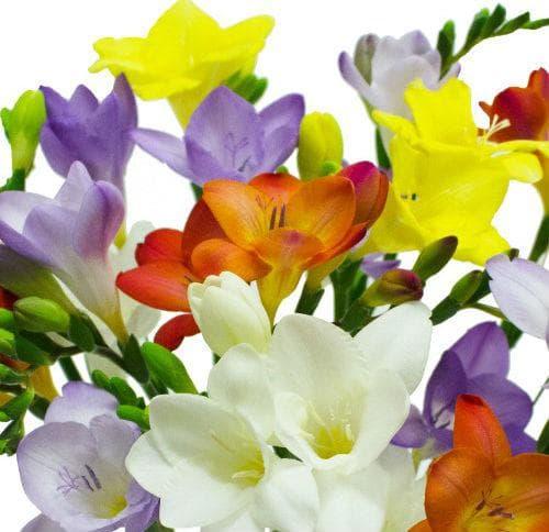 Фрезията цъфти в най-различни цветове