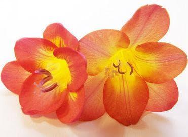 Цветът на фрезията представлява ароматна фуния