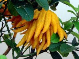 плодове ръка на Буда