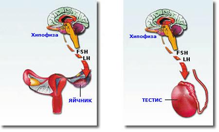 Секреция на FSH и LH