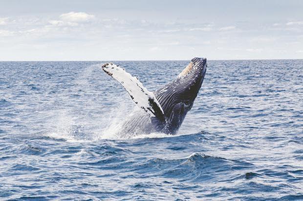 Гърбат кит