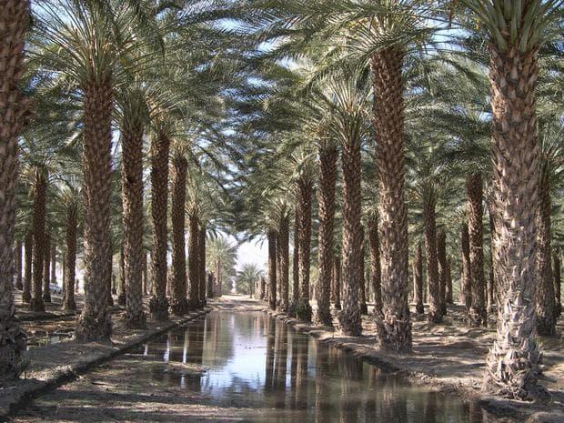 градина от финикови палми