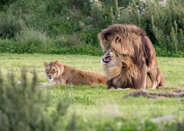 Два мъжки лъва