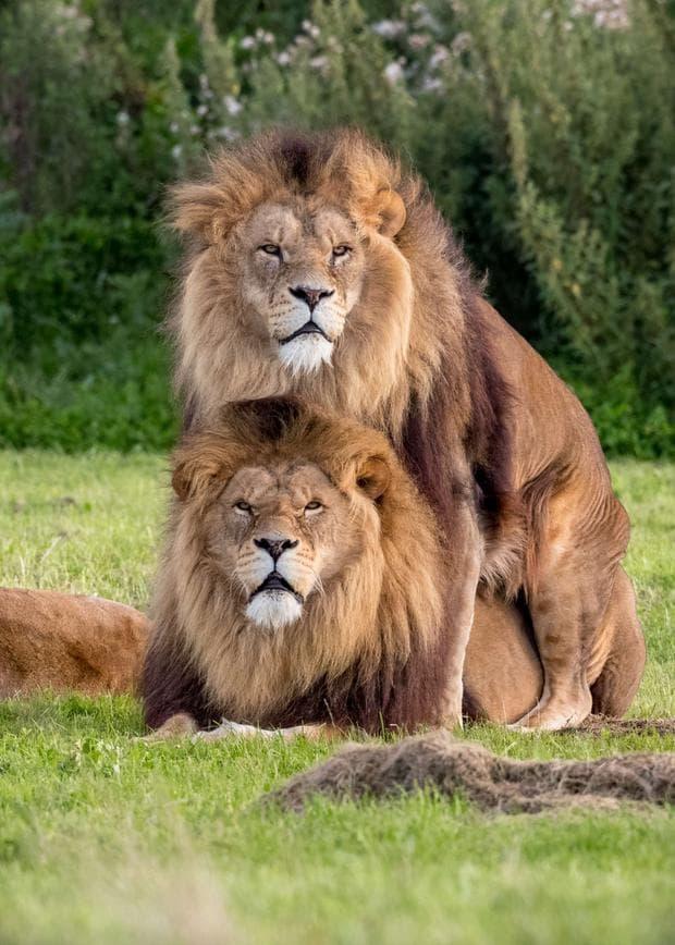 Мъжки лъвове