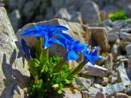 синя тинтява на варовикови скали