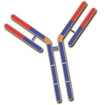 имуноглобулин G