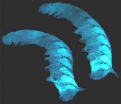 Бактерията Photorhabdus luminescens