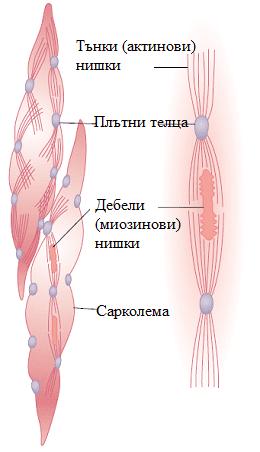 контрактилен апарат
