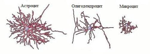 видове глиални клетки