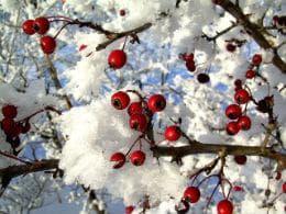 глог през зимата