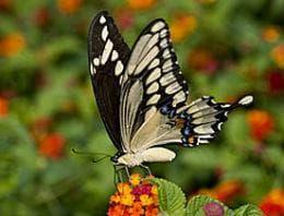 пеперуда, хранеща се с листата на американски зантоксилум