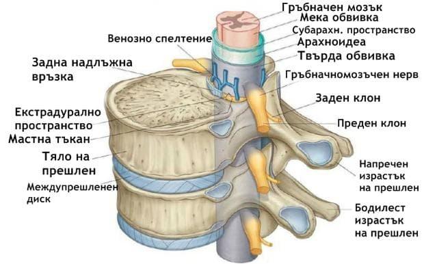 Обвивки на гръбначния мозък