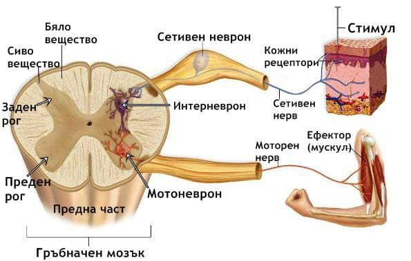Неврони на гръбначния мозък